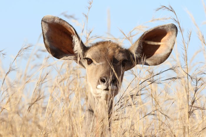 animal with large ears
